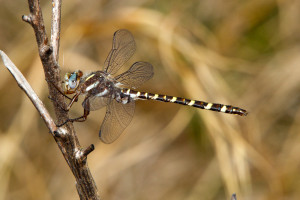 Sarracenia Spiketail_3793