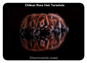 Chilean-Rose-Hair